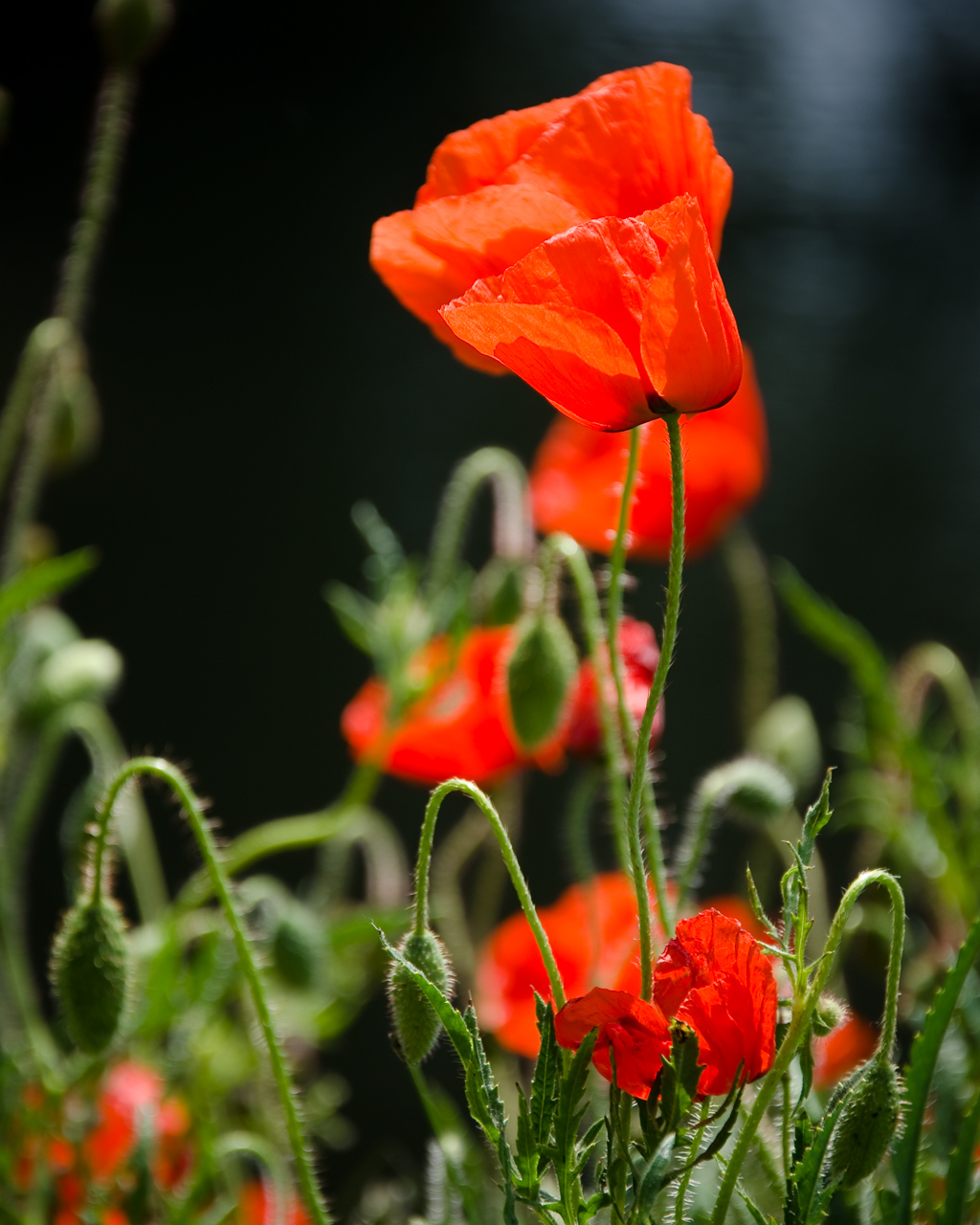 Poppies, Fance